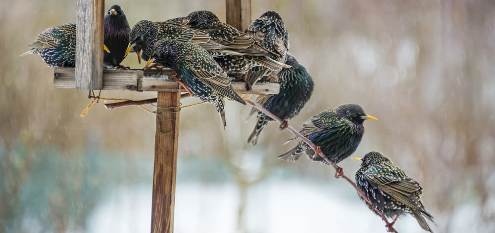 keep starlings away from bird feeders