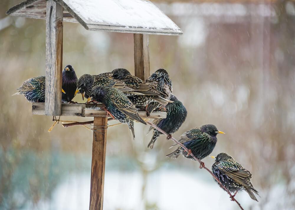 keep starlings away from bird feeders