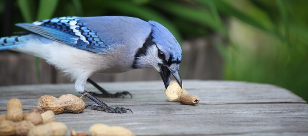 attract blue jays