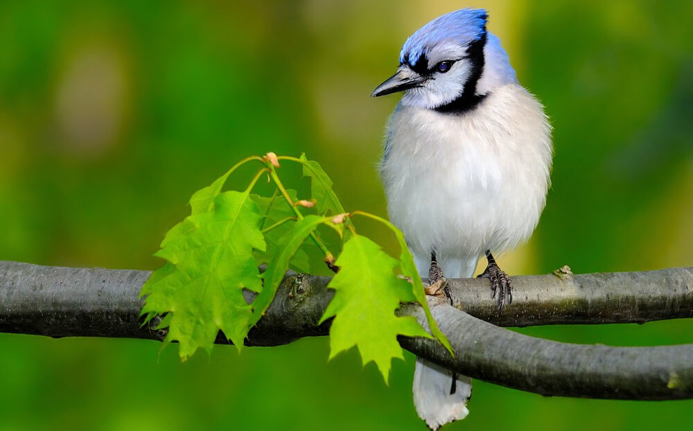 attracting blue jays with native plants
