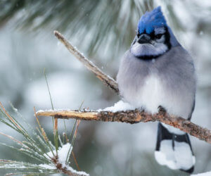 Attract Blue Jays With These 4 SIMPLE Strategies (2021)