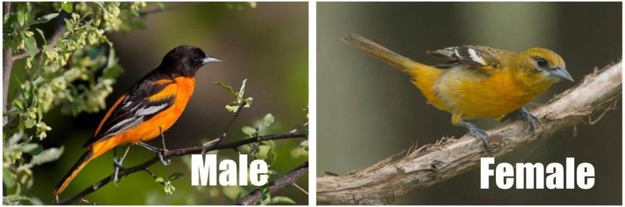 baltimore oriole birds