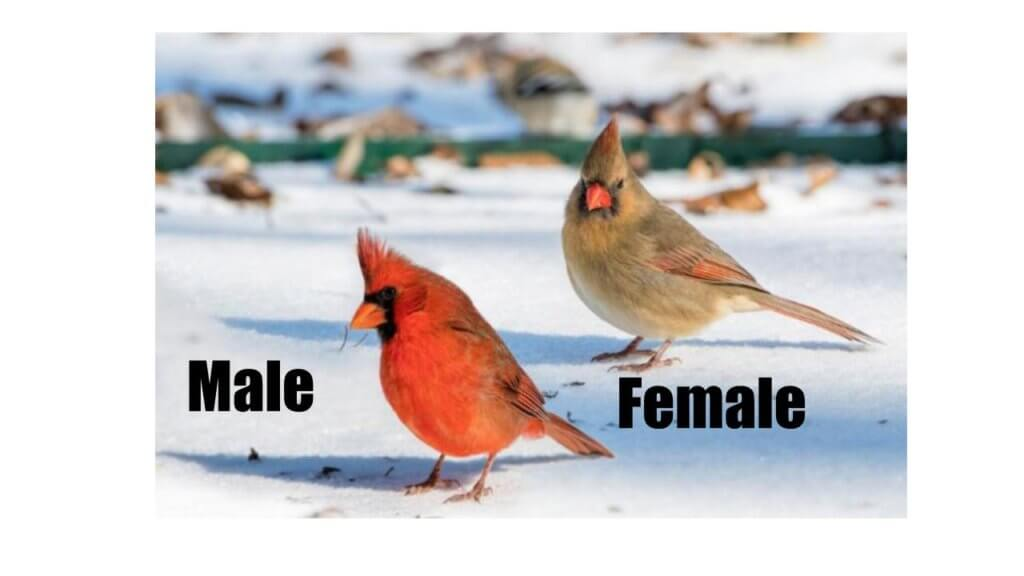 common types of birds - northern cardinal
