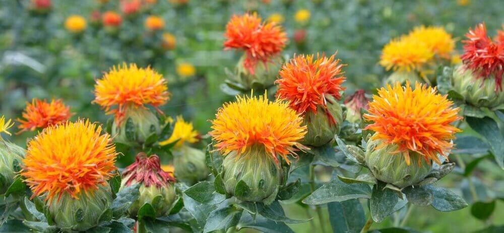 Safflower Seed For Wild Birds