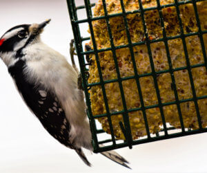 7 Effective Suet Feeders That Attract Woodpeckers! (2021)