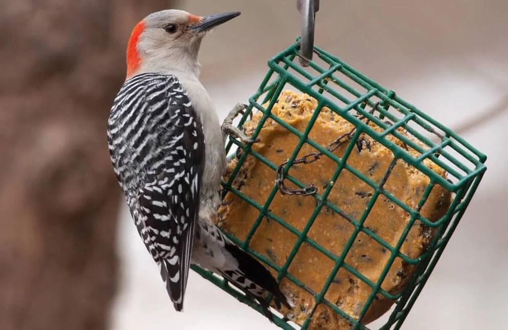 woodpecker feeders