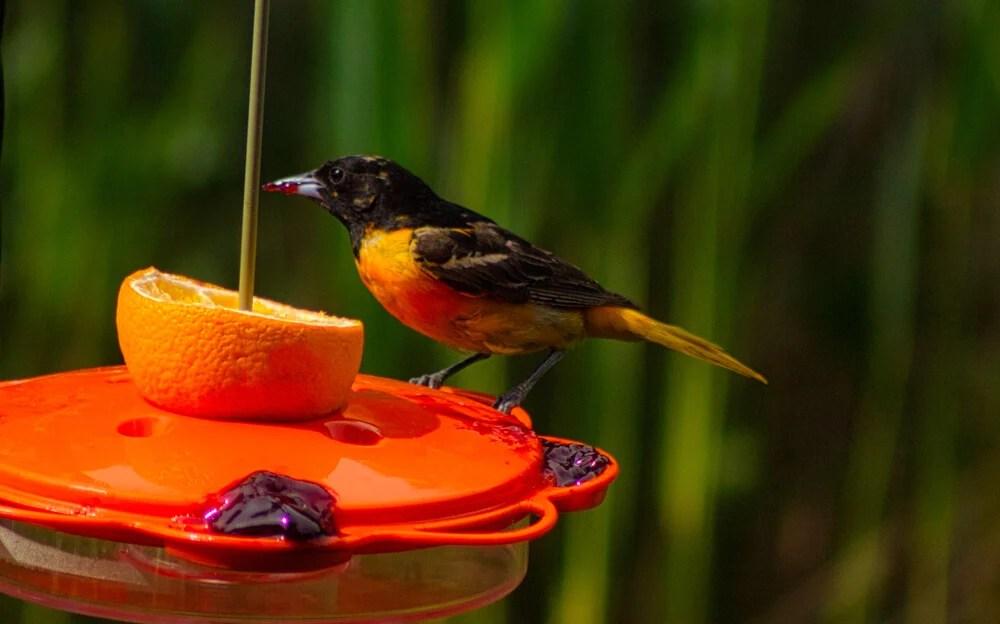 best bird feeders for orioles