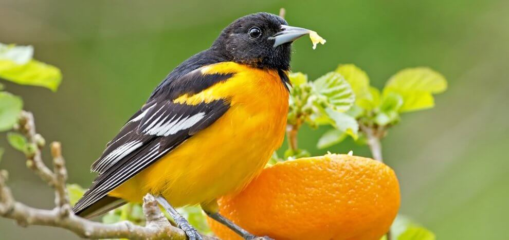 best oriole feeders for oranges