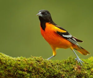 Attract Orioles With These 5 SIMPLE Strategies (2021)
