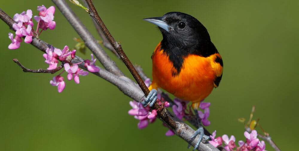 how to attract orioles to backyard