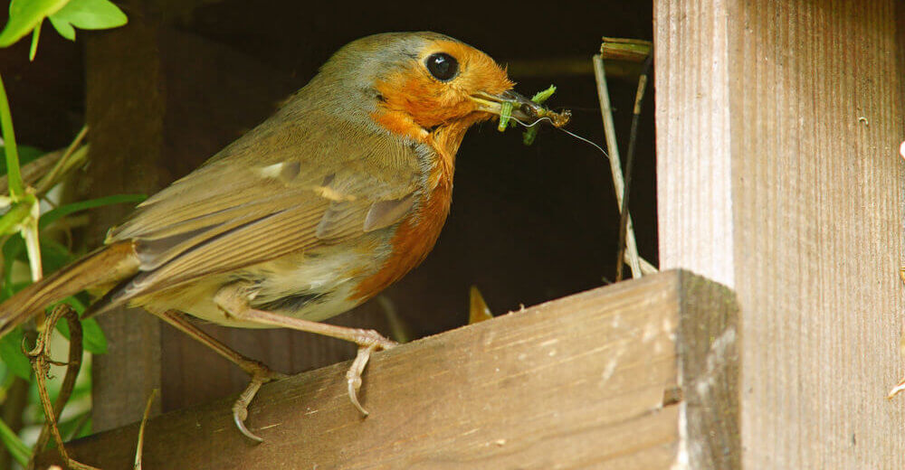 robin bird eating caterpillars and bugs in a garden