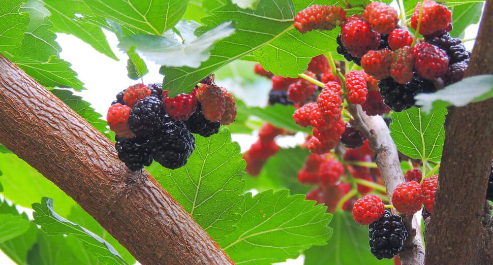 mulberry trees help distract birds away from gardens