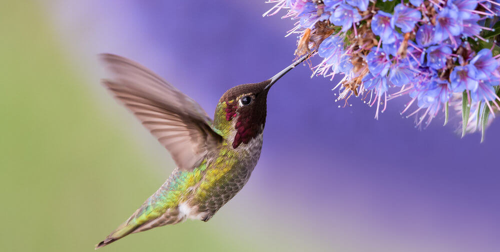 hummingbirds in your garden and flowers
