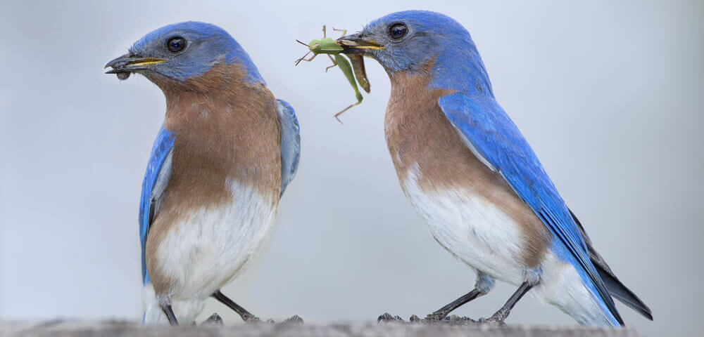 bluebirds eating pests from your garden