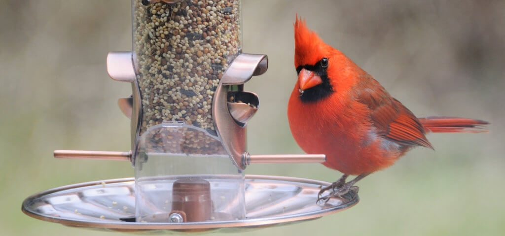 cardinal on bird feeder in garden