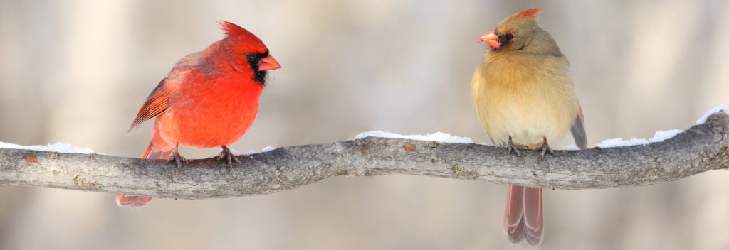 Interesting facts about Northern Cardinals