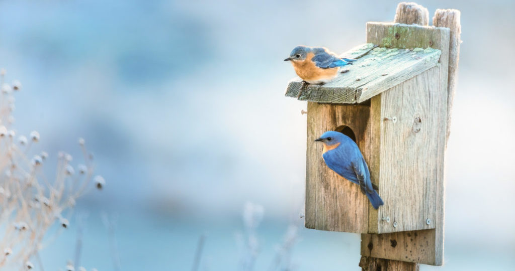 attract Mountain bluebirds with nestboxes