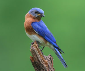 How To Attract Bluebirds: 6 Proven Tips (2021)
