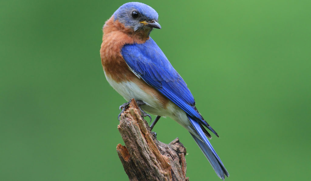 How to attract western bluebirds