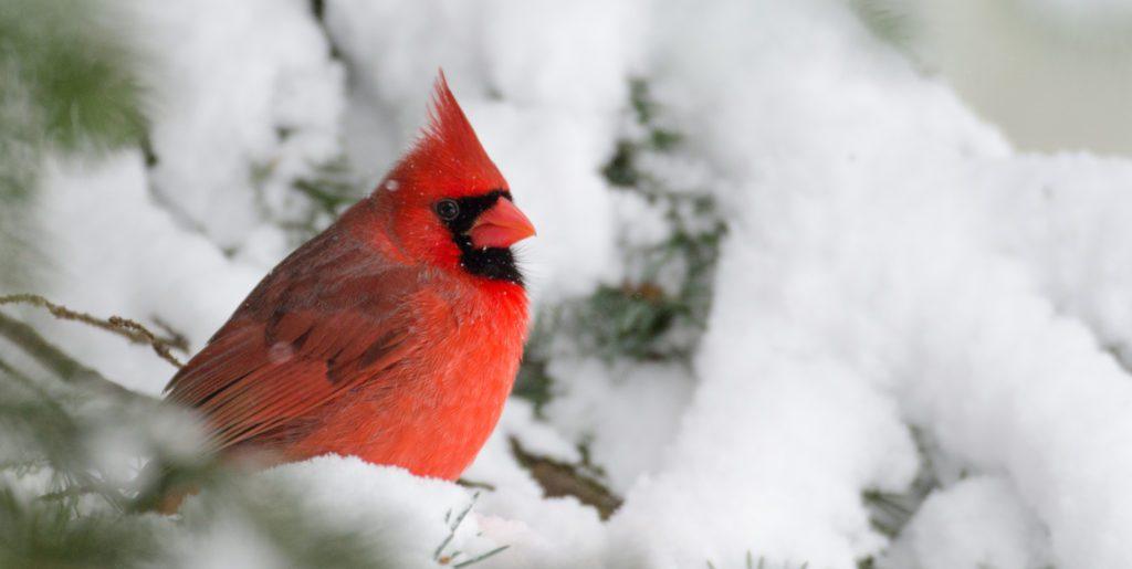 fun facts about cardinals