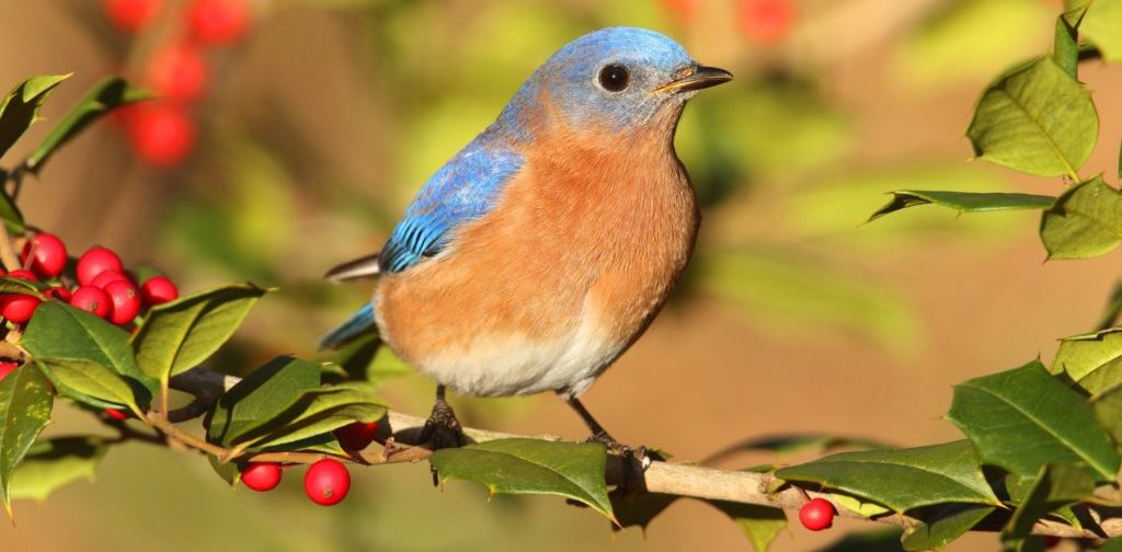 how to attract bluebirds all year long and season