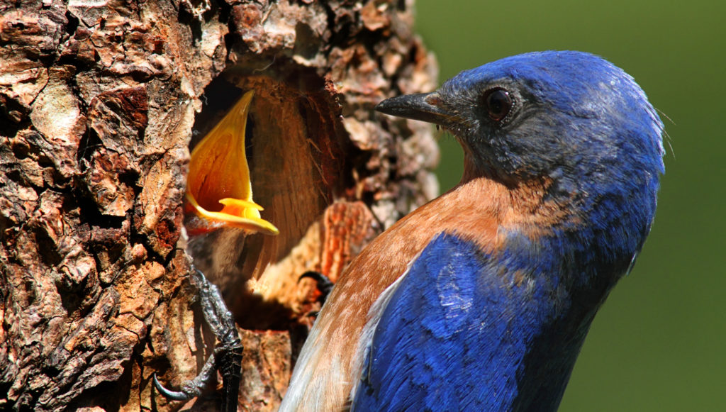Bluebirds are secondary cavity nesters.