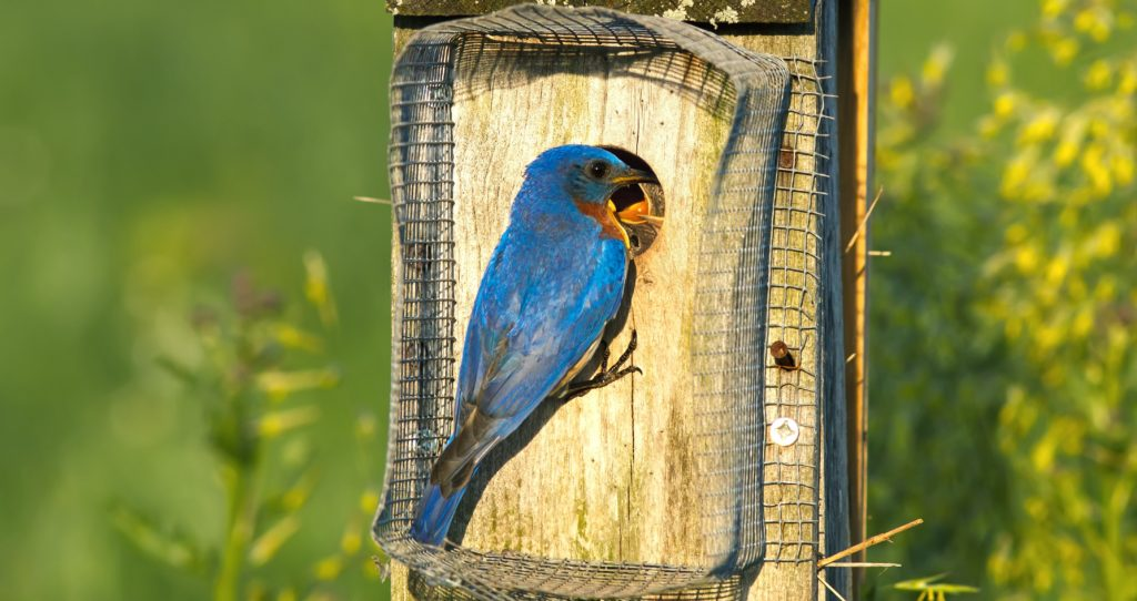Eastern Bluebird birdhouse with noel predator guard