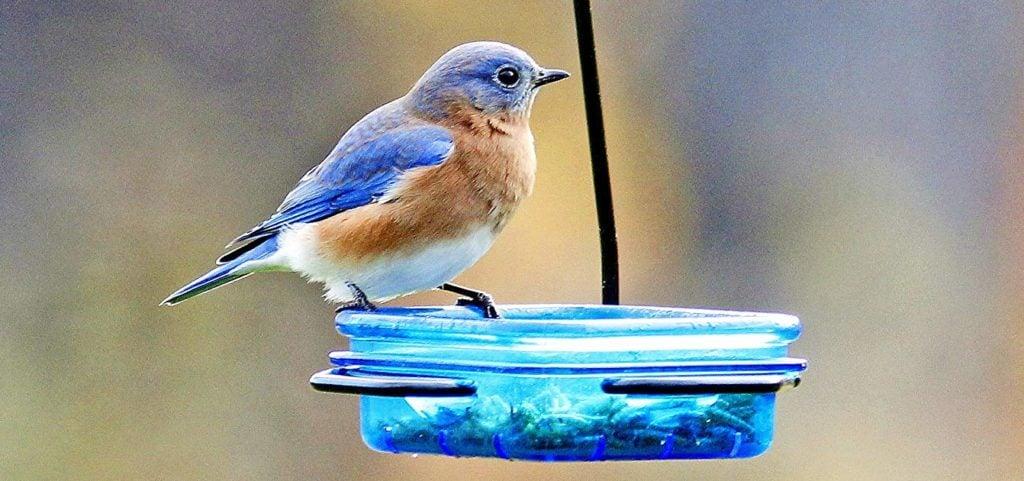 eastern bluebird on small bird feeder