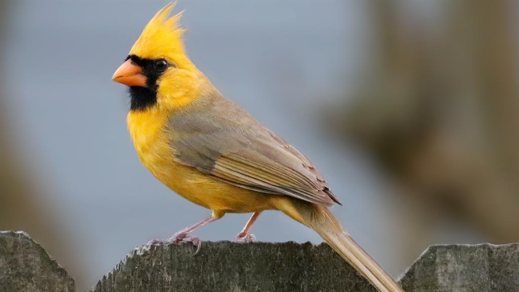 fun facts yellow cardinals