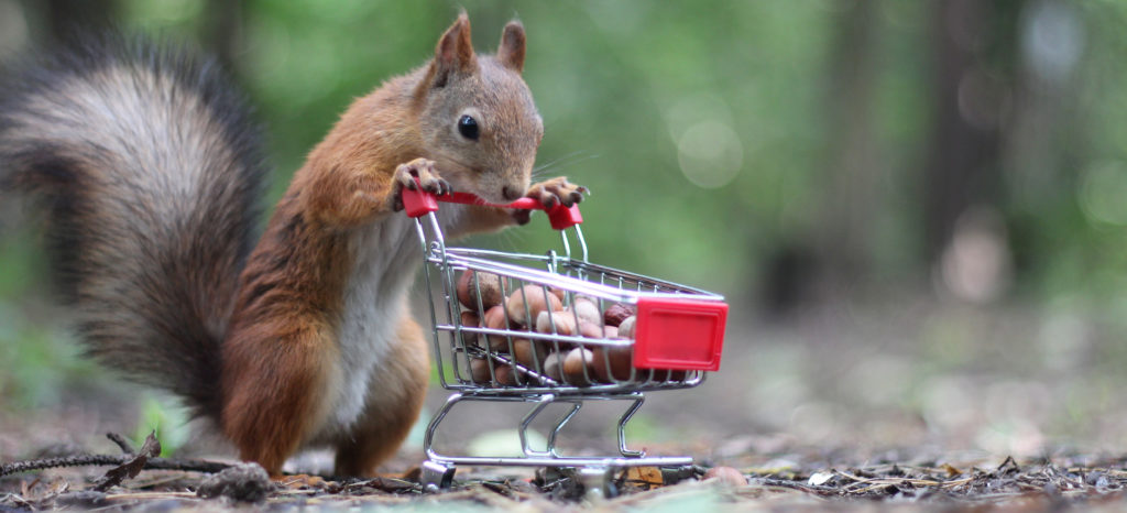 Red squirrel near the small shopping cart with nuts