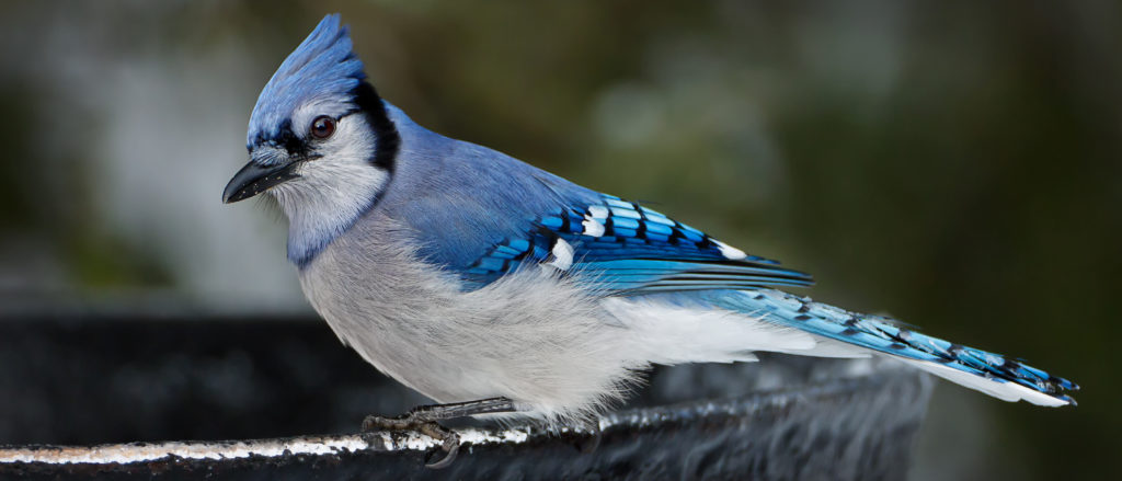 He is signed and numbered and ready for a worm! I love this mad looking little baby blue jay