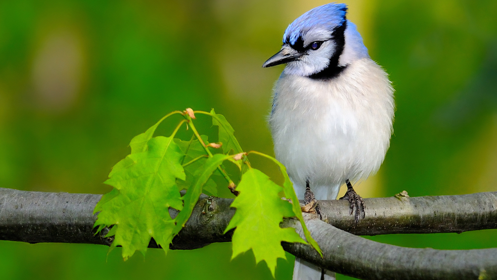 interesting facts about blue jays - help plant oak trees