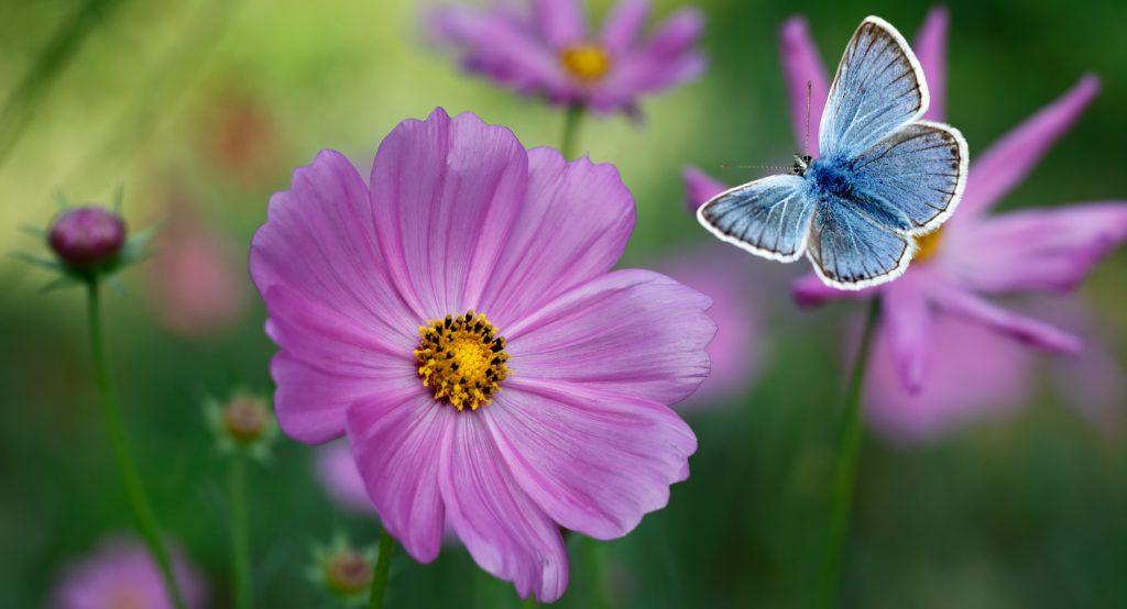 cosmos butterfly flowers