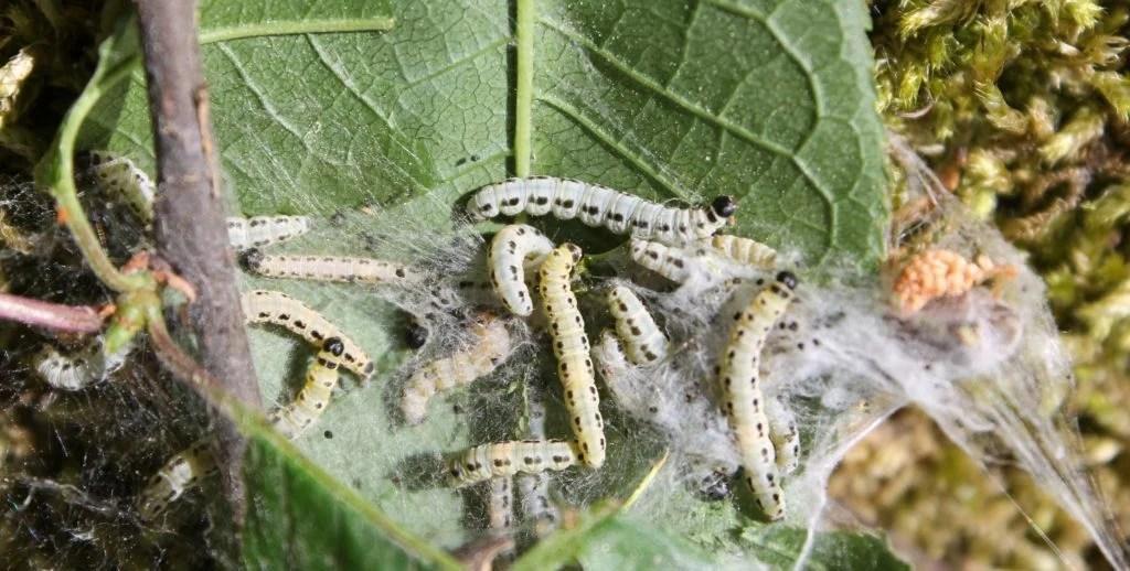 host plants for butterflies - hackberry