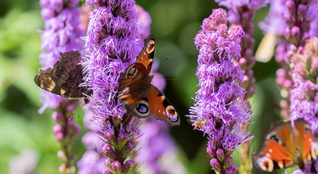 best plants and flowers for butterflies