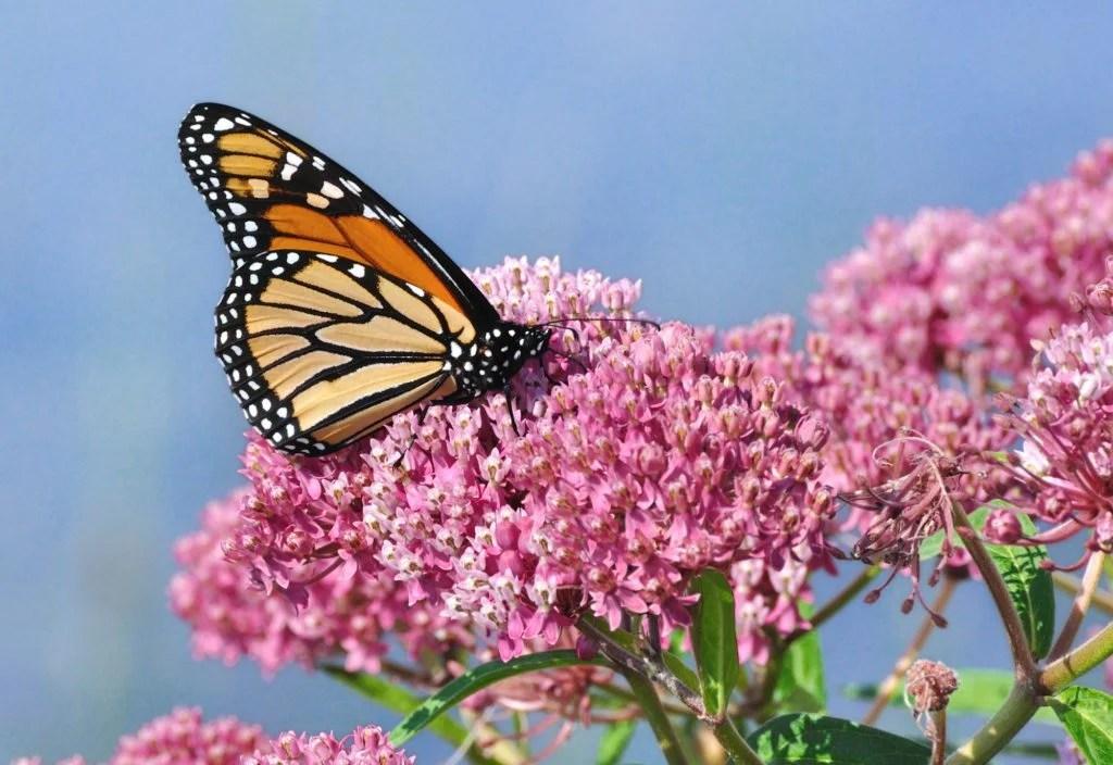 swamp milkweed for monarch butterflies