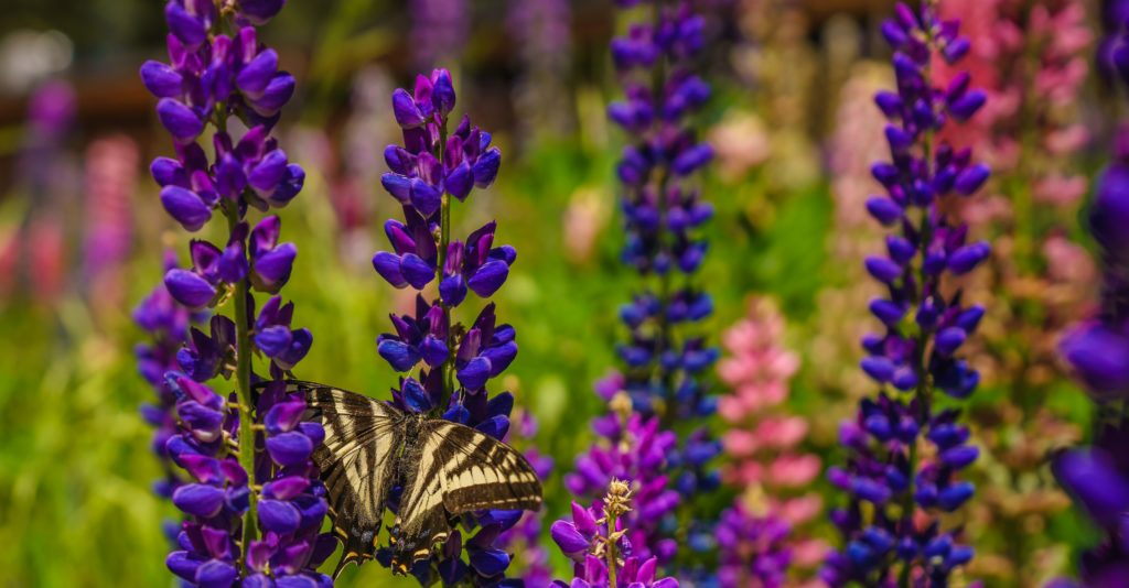 swallowtail on lupine flowers
