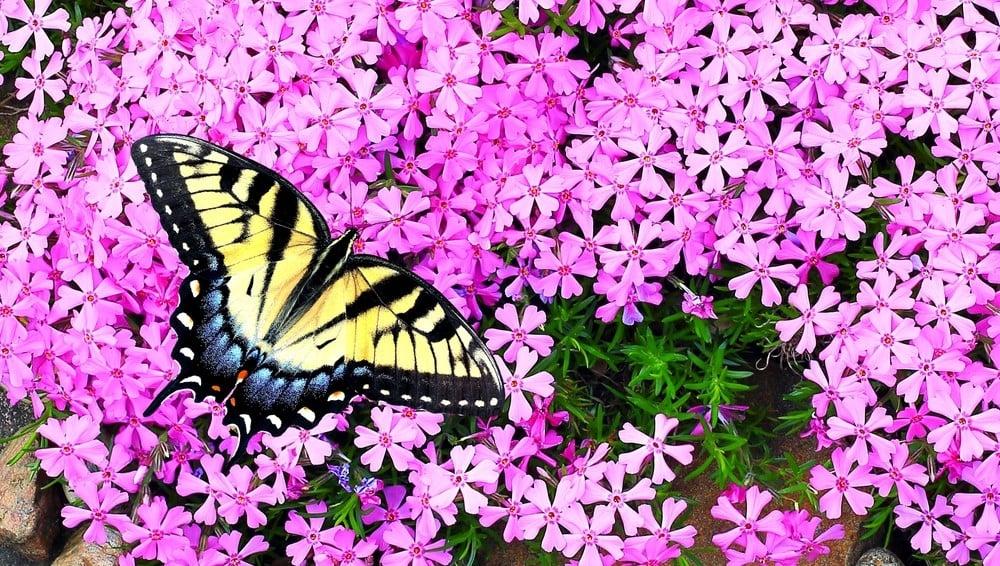 phlox flower to attract butterflies