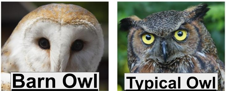 barn owls vs typical and true owls