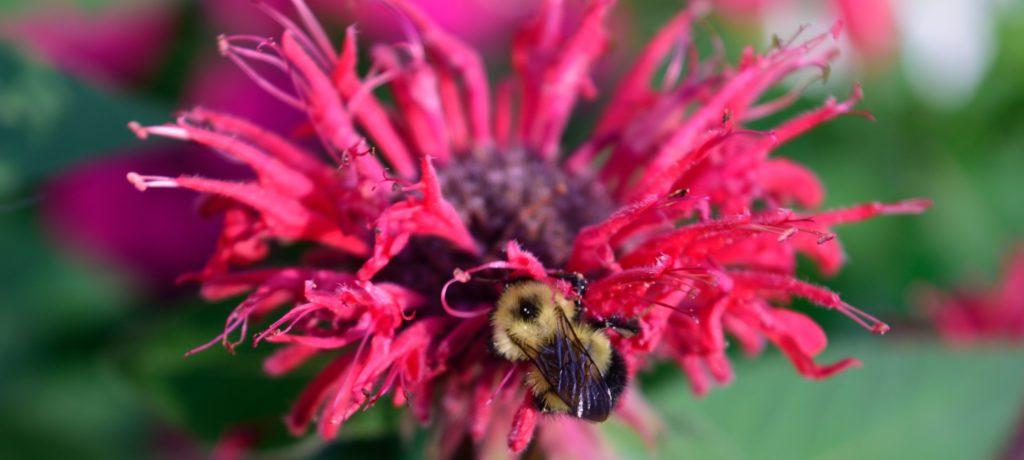 Honey Bee on Bee Balm (Monardra didyma)