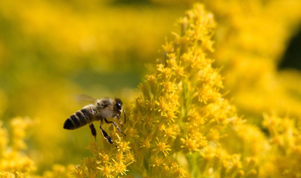 Bee on Goldenrod Flower