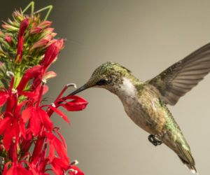What do hummingbirds eat? (It's not just nectar!)