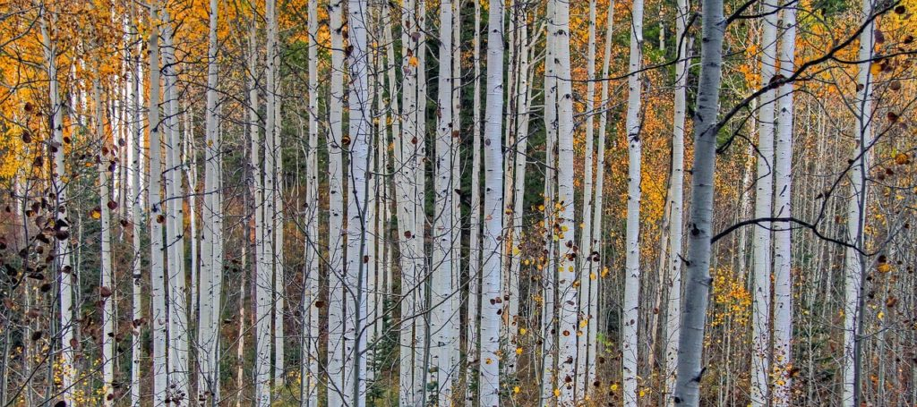 aspen trees - native