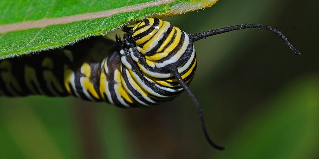 Monarch caterpillar eating host milkweed