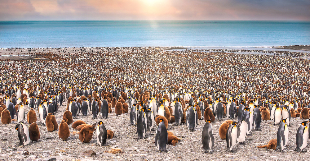 lots of penguins in colony