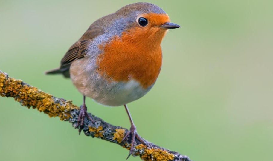 best bird in UK and Great Britian, England