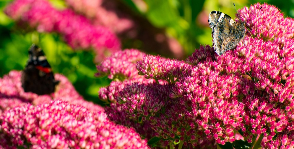 the best host plants for butterflies and caterpillars