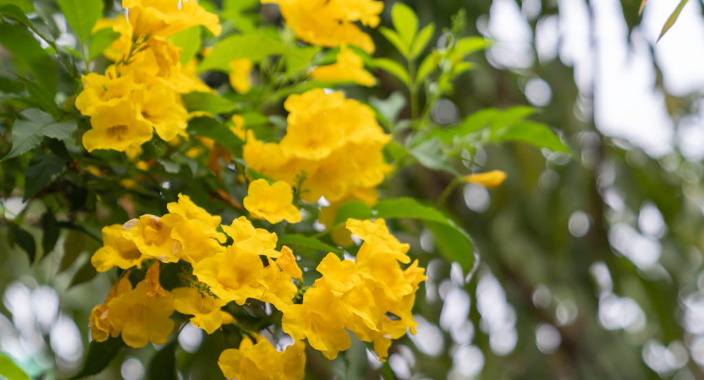 senna native flower