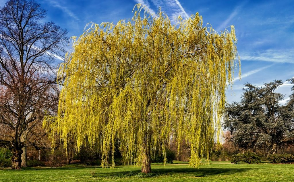 willow tree as butterfly host plant