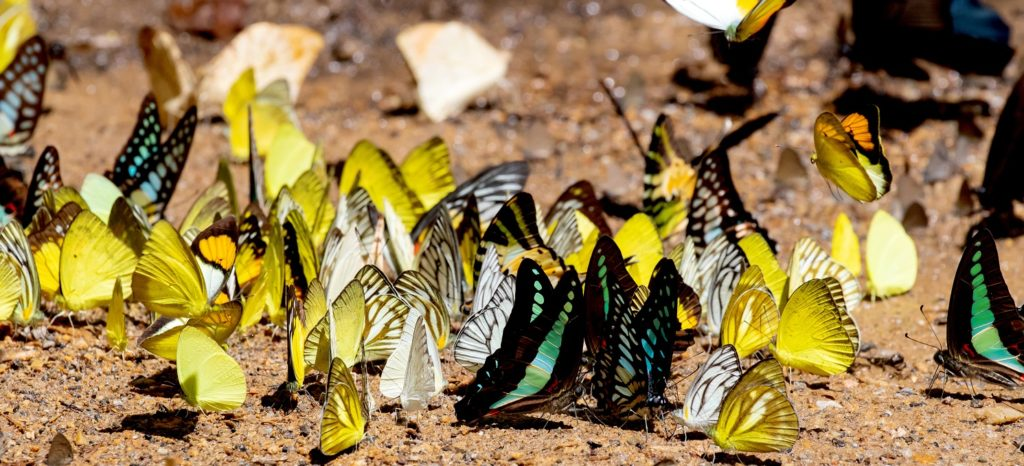 butterflies puddling